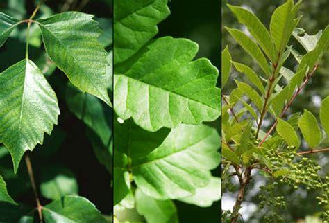 poison ivy oak and sumac information center www poison ivy oak sumac causes symptoms treatment