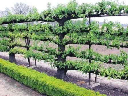 espalier fruit tree fence espalier pinterest