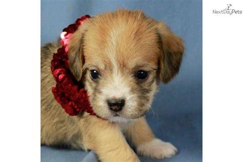 pugapoo puppies for sale pugapoo puppy for sale near tulsa oklahoma 2eea2be9 0a31