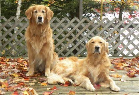 golden retriever club of bc canadian kennel club club canin canadien
