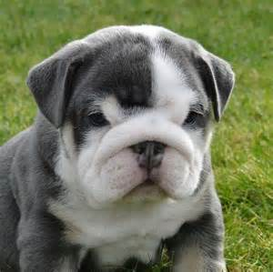 gray bulldog puppies gray boxer bulldog puppies pictures to pin on pinsdaddy