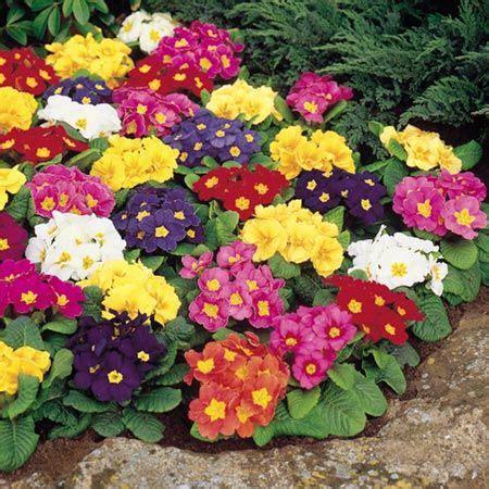 Benih Bibit Bunga Pansy Mix jual benih bibit biji seed bunga primrose springtide mix