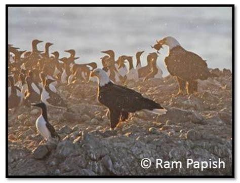 seabird predators on the oregon coast hatfield marine