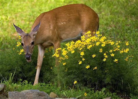 Garden Deer How To Plant A Deer Proof Garden Garden Club