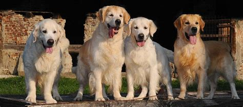 golden retriever purpose pinkerly golden retrievers allevamento golden retrievers riconosciuto enci fci