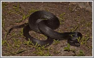 Florida Backyard Snakes Black Pine Snake Florida Backyard Snakes