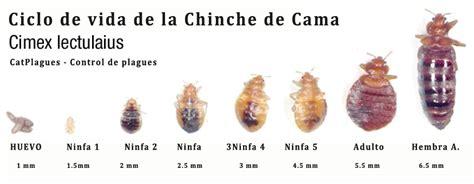 insectos de cama chinches de la cama c 243 mo matar chinches de cama chinches