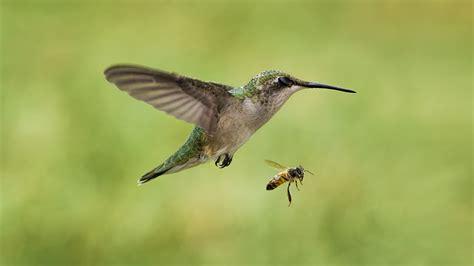 bird the bee hummingbird insect wallpaper 2048x1152