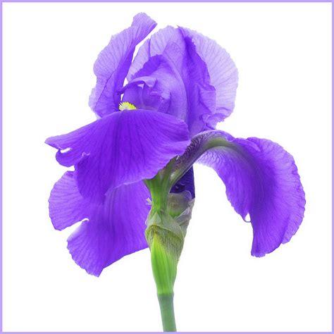 iris fiori iris foto immagini piante fiori e funghi natura
