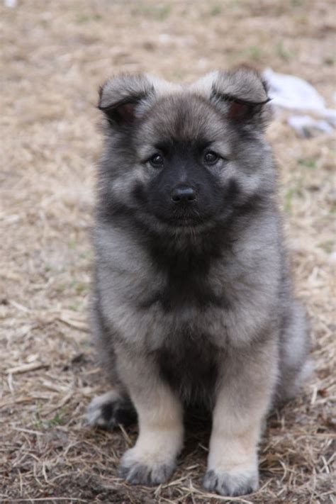 keeshond puppies puppies home pictures