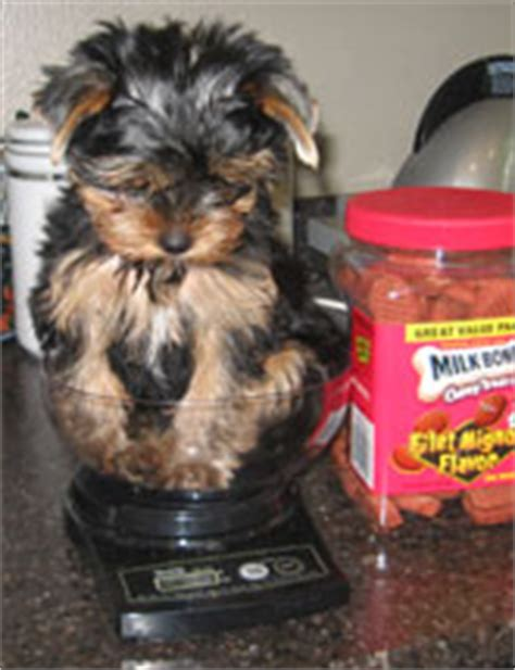 yorkie weight scale terriers yorkie puppies breeder information san diego