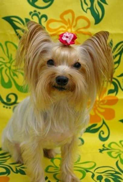 grooming styles for yorkies 17 best ideas about yorkie hairstyles on terrier haircut yorkie