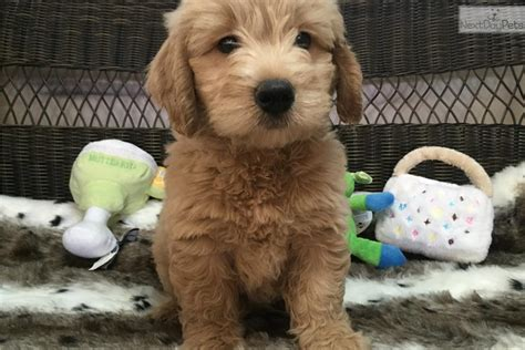 mini doodle florida goldendoodle puppy for sale near west palm florida
