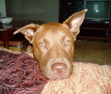 labrabull puppies for sale 17 best ideas about nose pit on nose pitbull nose and