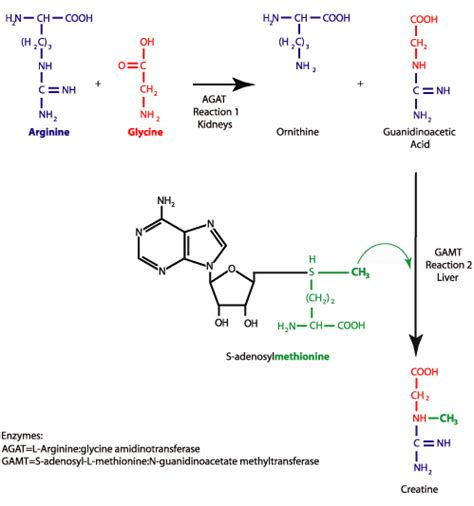 creatine or amino acids creatine synthesis creatine information center