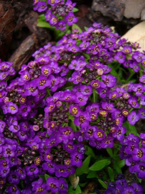 is an easter a perennial 60 violet fragrant alyssum flower seeds reseeds ebay