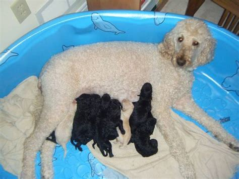 goldendoodle puppies for sale california puppies for sale parkland goldendoodles puppies for sale wallpaper breeds picture