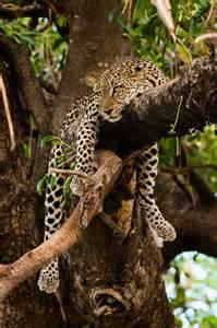 Jaguar Africa 25 Best Ideas About Leopard On Baby