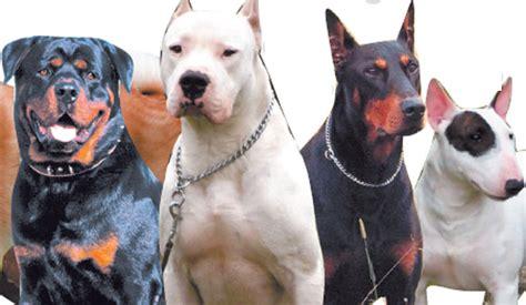 ley de razas de perros peligrosos boo the dogs avanza proyecto que obliga a los due 241 os de perros