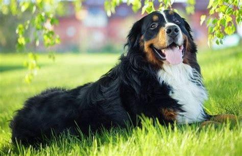 alimentazione bovaro bernese bovaro bernese prezzo cani taglia grande prezzo