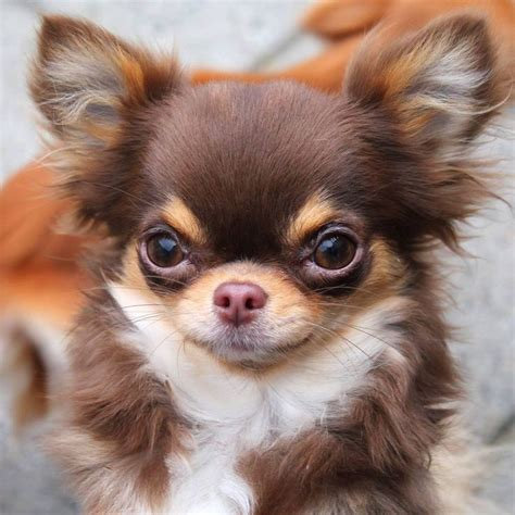how much does a teddy pomeranian cost 25 best ideas about pomeranian chihuahua on chihuahua puppies chihuahua