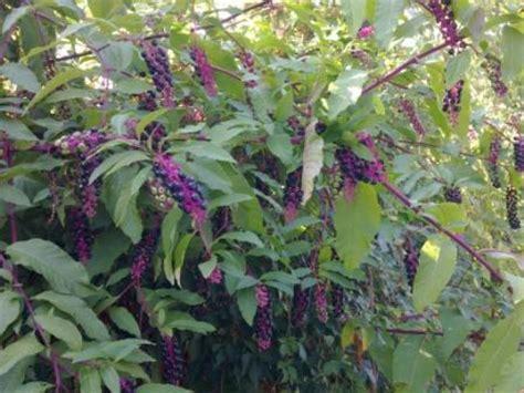pianta con fiori viola a grappolo arbusto con rami viola e frutti neri a grappolo foto