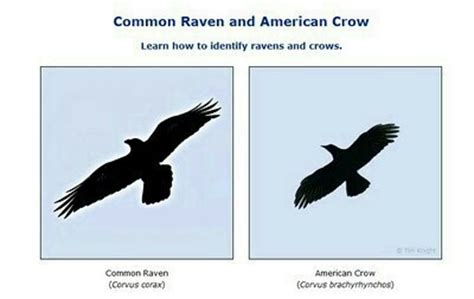 Home Decor Owls by Raven Vs Crow Did You Know Backyard Wildlife