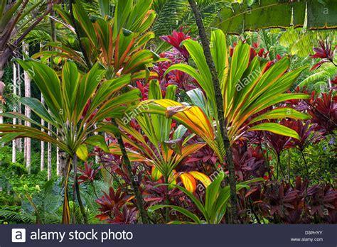 Hawaiian Botanical Gardens Ti Plants Hawaii Tropical Botanical Gardens Hawaii The Big Island Stock Photo Royalty Free