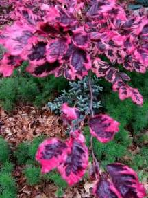tri color beech tricolor beech definately a favorite the leaves look like