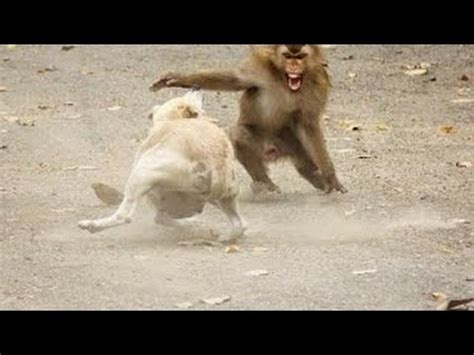puppy vs real vs monkey fight vs monkey real fight