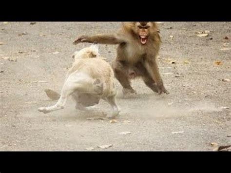 vs puppy vs monkey fight vs monkey real fight