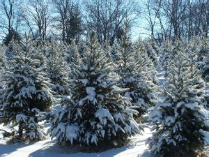 best christmas tree farms around baltimore 171 cbs baltimore