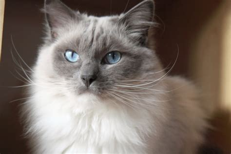 breeds with cats ragdoll cat breed 20 beautiful ragdoll images to melt your cancats net
