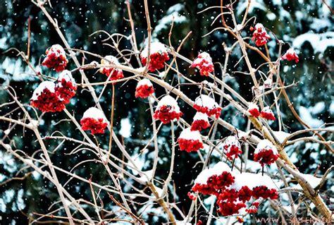 Bilder Roten by Rote Beeren Vom Strauch Gemeiner Schneeball Unter Wei 223 En