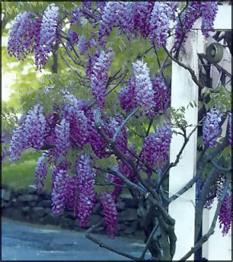 come far fiorire il glicine piante fiori giardinaggio e tecniche di potatura