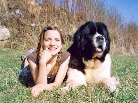 Do Newfoundland Dogs Shed by How Bad Do Newfoundlands Shed Is A Newfoundland