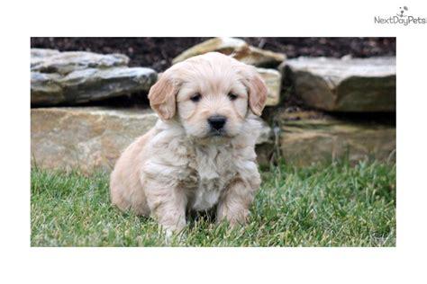 mini goldendoodle lancaster pa paws goldendoodle puppy for sale near lancaster