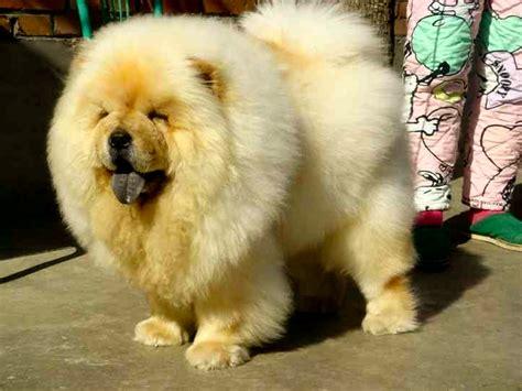 chow chow caracteristicas y cuidados razas de perros