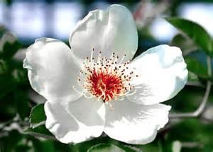 carolina flower north carolina state flower north carolina s state