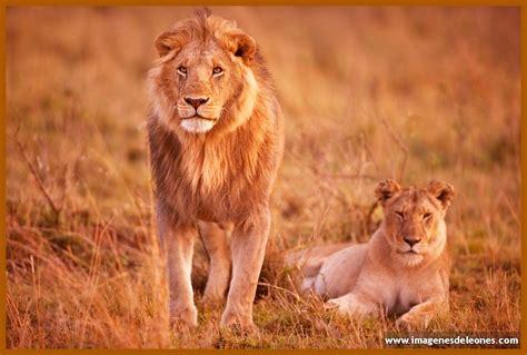 imagenes leones y leonas fotos de leones y leonas archivos imagenes de leones