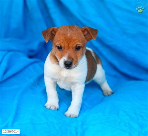 puppies in lancaster pa 17 best images about puppies on puppys spaniels and cavalier