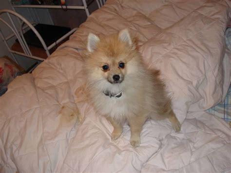 pomeranians for sale utah ukc registered pomeranian puppy for sale adoption from west utah salt lake