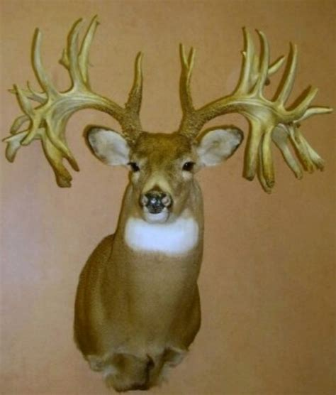 Missouri Records The Record Rack Wide Buck 18 Images Tag Archive For Quot Whitetail Deer Quot The