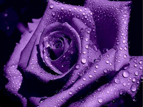 imagenes rosas violetas pin flores violetas fondo negro hd widescreen gratis