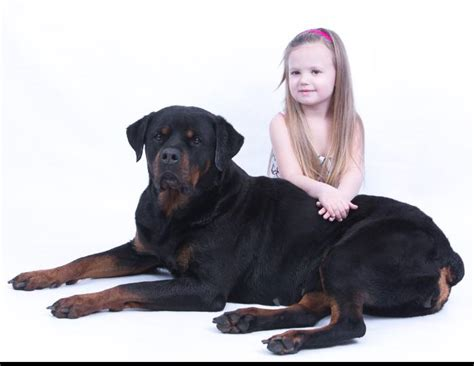 rottweiler puppies for sale in ohio 300 dollars rottweiler puppies ohio free dogs in our photo