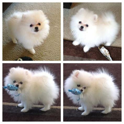 white baby pomeranian for sale white pomeranian puppy poofball bit of fluff white pomeranian