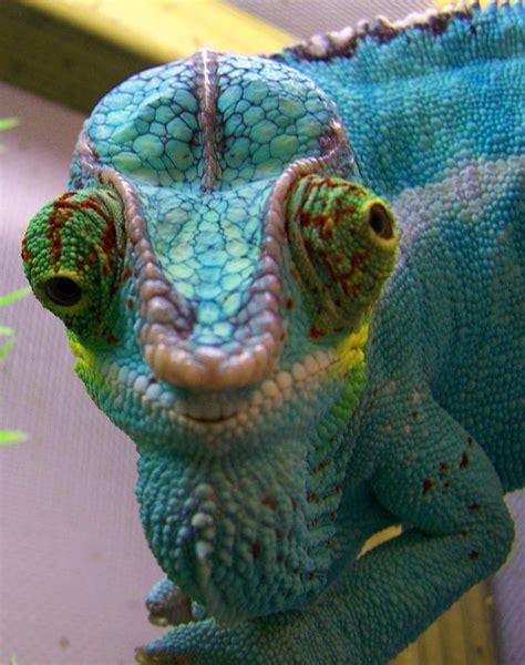 do iguanas change color 129 best images about chameleons on crested