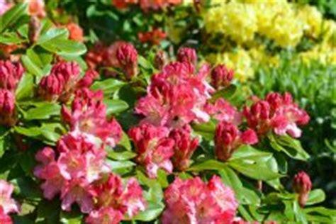 Rhododendron Braune Bl Tter 3766 by Rhododendron Schneiden 187 Wann Wie Macht Das