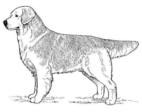 golden retriever breed standard breed standards golden retriever united kennel club ukc
