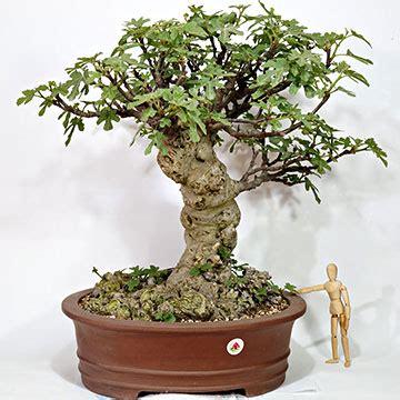 fico in vaso albero di fico in vaso bonsai banyan tree with albero di